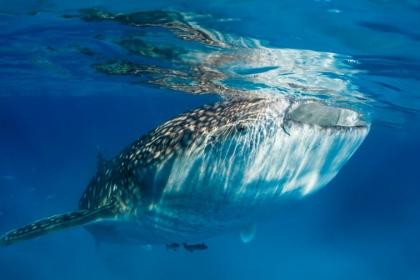 Oslob看鲸鲨