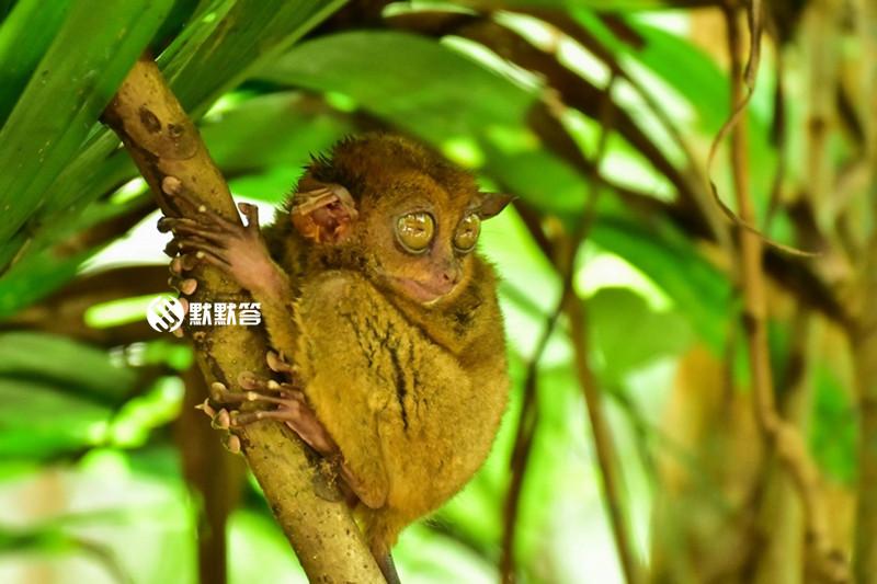 眼镜猴保护区,眼镜猴保护区,Tarsier Conservation Area